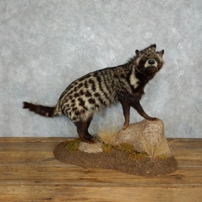 African Civet-Cat Life-Size Mount For Sale #18001 @ The Taxidermy Store