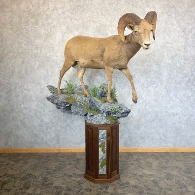 Colorado Bighorn Sheep Taxidermy Mount #23743 For Sale - The Taxidermy Store