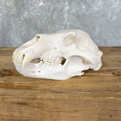 Common Alaskan Grizzly Bear Skull Mount For Sale #24930 @ The Taxidermy Store