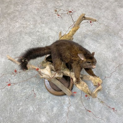 Common Brushtail Possum Mount For Sale #22759 @ The Taxidermy Store