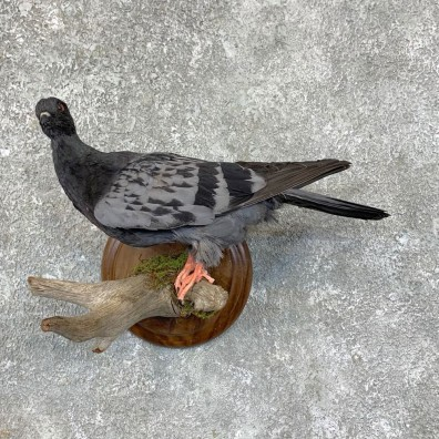 Common Pigeon Life Size Taxidermy Mount #23569 For Sale @ The Taxidermy Store