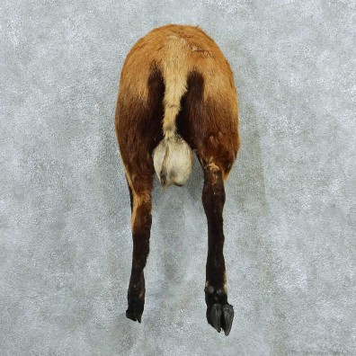 Black & Tan Corsican Ram Mount #13737 For Sale @ The Taxidermy Store