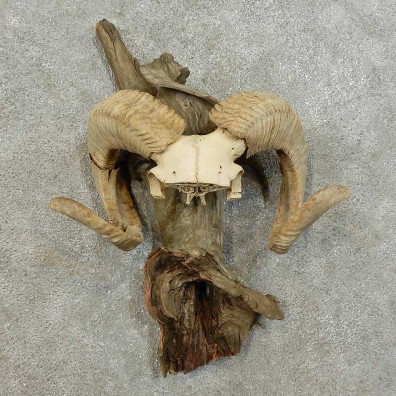 Corsican Ram Horn Mount For Sale #16002 @ The Taxidermy Store