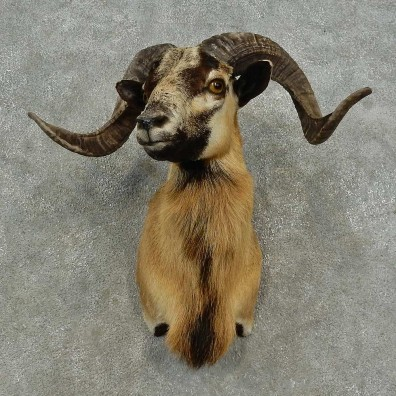 Corsican Ram Shoulder Mount For Sale #16720 @ The Taxidermy Store