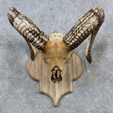 Corsican Ram Skull European Mount For Sale #15575 @ The Taxidermy Store