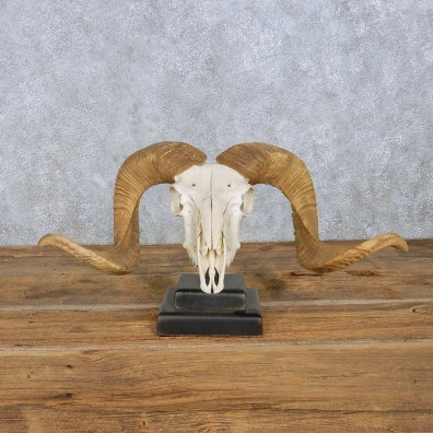 Corsican Ram Skull & Horns Mount For Sale #13961 @ The Taxidermy Store
