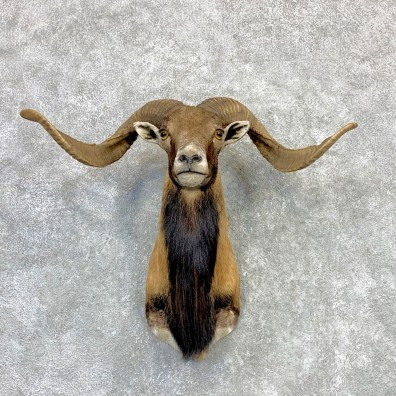 Corsican Ram Shoulder Mount For Sale #23118 @ The Taxidermy Store