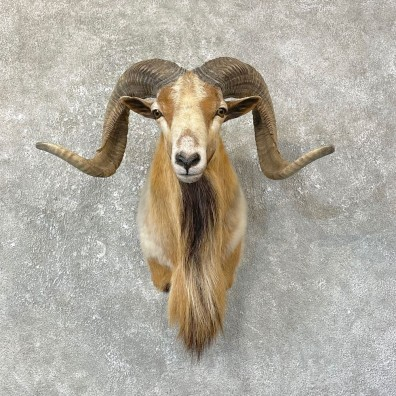 Corsican Ram Shoulder Mount For Sale #25136 @ The Taxidermy Store
