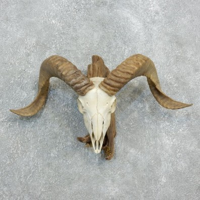 Corsican Ram Skull European Mount For Sale #18331 @ The Taxidermy Store