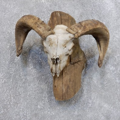 Corsican Ram Skull European Mount For Sale #18726 @ The Taxidermy Store