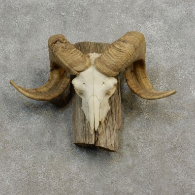 Corsican Ram Skull European Mount For Sale #17184 @ The Taxidermy Store