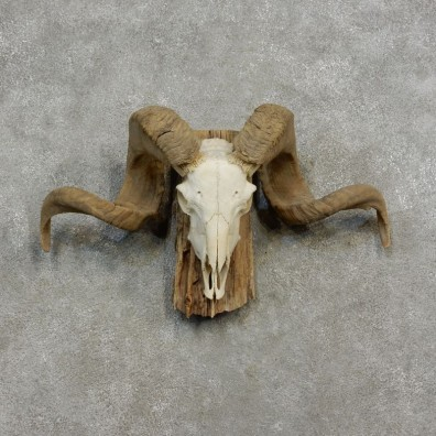 Corsican Ram Skull European Mount For Sale #17186 @ The Taxidermy Store