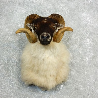 Corsican Ram Shoulder Mount For Sale #17820 @ The Taxidermy Store
