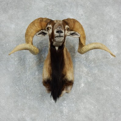 Corsican Ram Shoulder Mount For Sale #17908 @ The Taxidermy Store