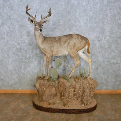 Coues Deer Life-Size Mount For Sale #15119 @ The Taxidermy Store