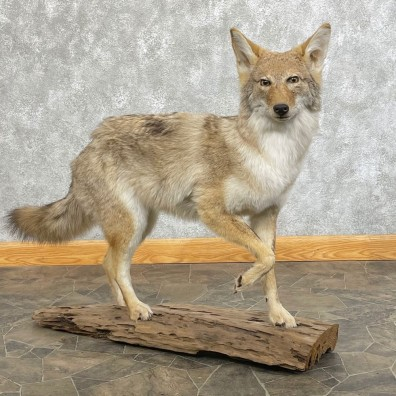Coyote Life-Size Mount #24627 For Sale @ The Taxidermy Store