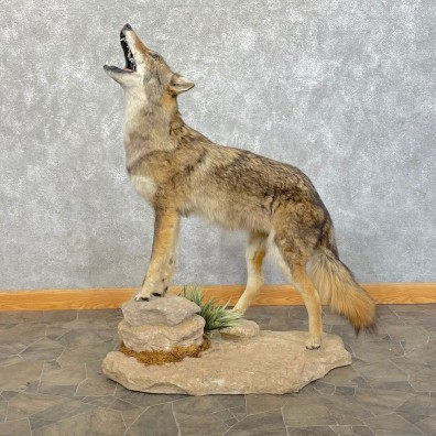 Coyote Life-Size Mount For Sale #24628 @ The Taxidermy Store