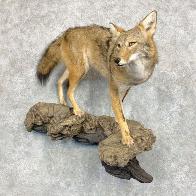 Coyote Life Size Mount #21683 For Sale @ The Taxidermy Store