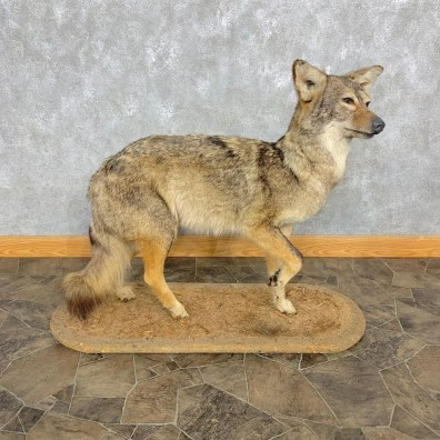Coyote Life Size Taxidermy Mount #23302 For Sale @ The Taxidermy Store