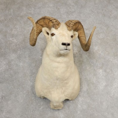Dall Sheep Shoulder Mount For Sale #21063 @ The Taxidermy Store