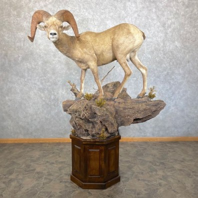 Desert Bighorn Sheep Taxidermy Mount #24512 For Sale - The Taxidermy Store