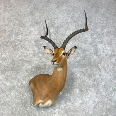 East African Impala Shoulder Mount For Sale #23986 @ The Taxidermy Store