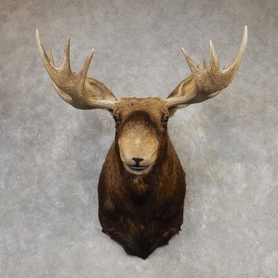 Eastern Canadian Moose Shoulder Taxidermy Mount For Sale #20427 @ The Taxidermy Store