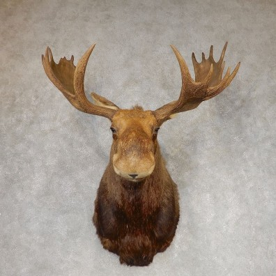 Eastern Canadian Moose Shoulder Taxidermy Mount For Sale #21303 @ The Taxidermy Store