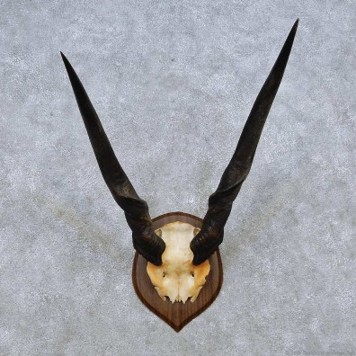 African Eland Horn Plaque Mount For Sale #14500 @ The Taxidermy Store