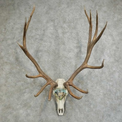 Elk Painted European Mount For Sale #16092 @ The Taxidermy Store