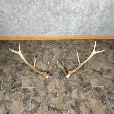Elk Antler Craft Pack For Sale #25094 @ The Taxidermy Store