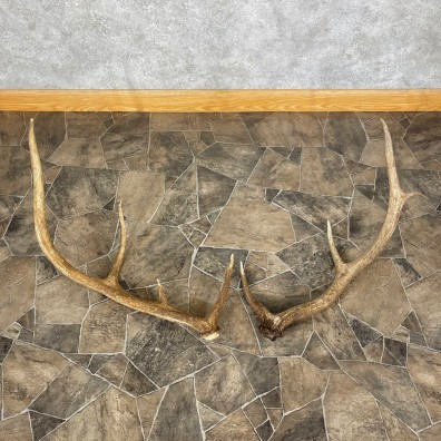 Elk Antler Craft Pack For Sale #25096 @ The Taxidermy Store