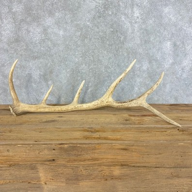 Elk Antler Shed For Sale #21522 @ The Taxidermy Store