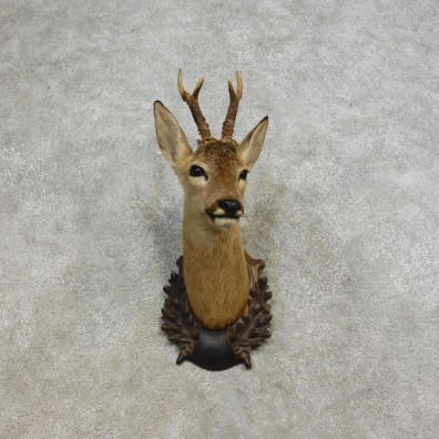 European Roe Deer Taxidermy Mount For Sale - 17274 - The Taxidermy Store