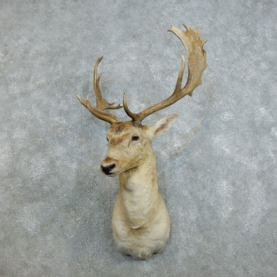 Fallow Deer Shoulder Mount For Sale #18535 @ The Taxidermy Store