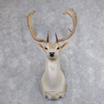 Fallow Deer Shoulder Mount For Sale #18639 @ The Taxidermy Store