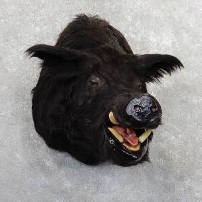 Feral Boar Shoulder Mount For Sale #19641 @ The Taxidermy Store