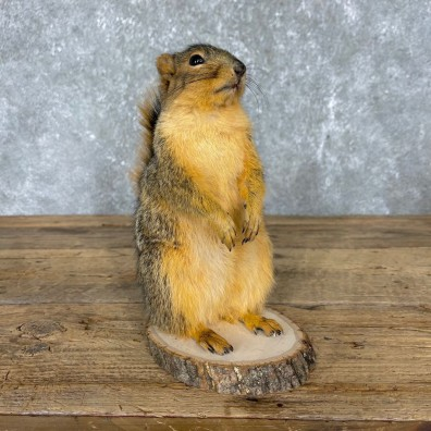 Fox Squirrel Mount For Sale #24423 @ The Taxidermy Store