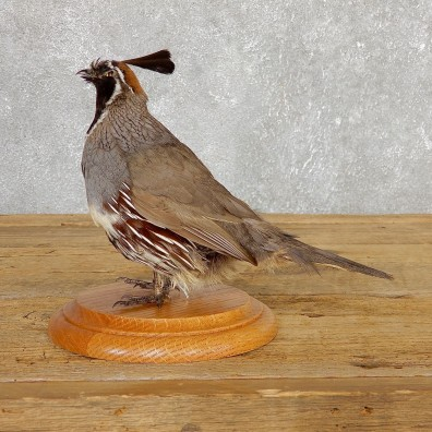 Gamble Quail Life-Size Mount For Sale #19808 @ The Taxidermy Store