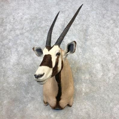 Gemsbok Oryx Shoulder Mount For Sale #21650 @ The Taxidermy Store