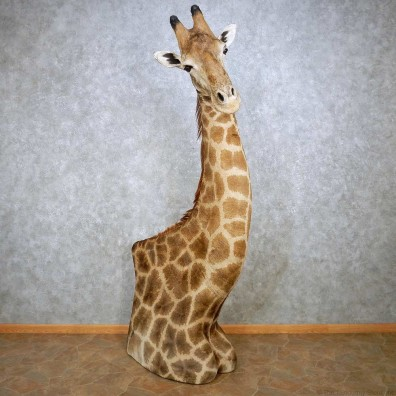Giraffe Taxidermy Shoulder Mount For Sale #14390 @ The Taxidermy Store