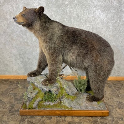 Glacier Bear Life-Size Taxidermy Mount For Sale #23346 - The Taxidermy Store