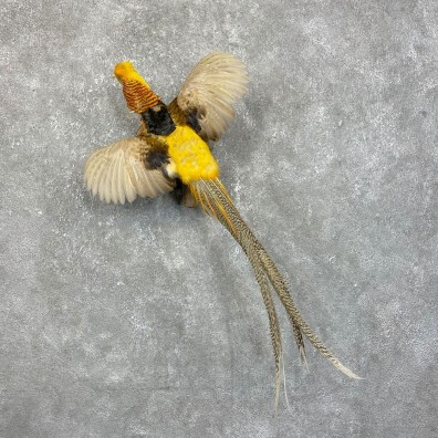 Golden Pheasant Bird Mount For Sale #24206 @ The Taxidermy Store
