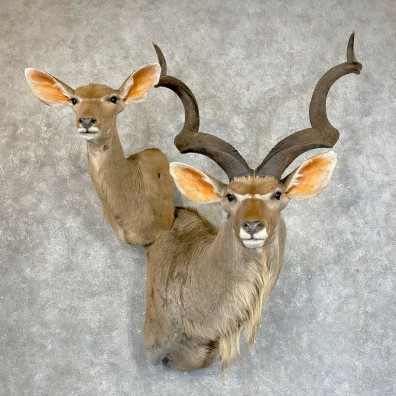 Greater Kudu Pair Shoulder Mount For Sale #24245 @ The Taxidermy Store