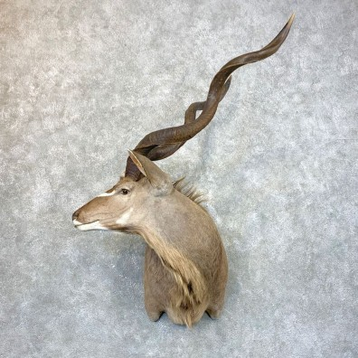 Greater Kudu Shoulder Mount For Sale #23942 @ The Taxidermy Store