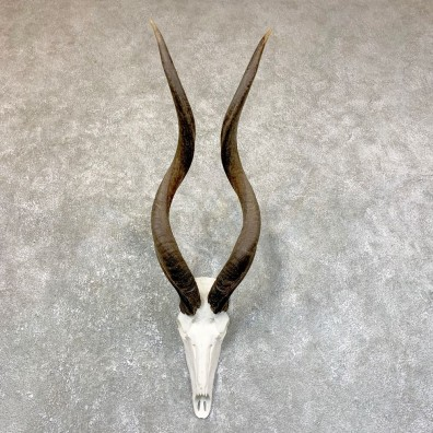 Greater Kudu Skull European Mount For Sale #23742 @ The Taxidermy Store