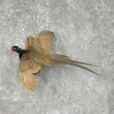 Green Pheasant Taxidermy Mount #25444 For Sale @ The Taxidermy Store