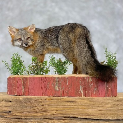 Grey Fox Life-Size Mount For Sale #21401 @ The Taxidermy Store