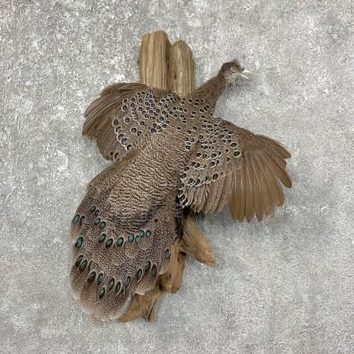 Grey Peacock Pheasant Taxidermy Bird Mount For Sale #25243 @ The Taxidermy Store @ The Taxidermy Store