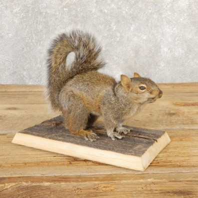 Grey Squirrel Life-Size Mount For Sale #20817 @ The Taxidermy Store